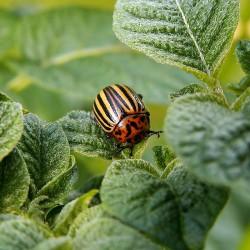 colorado-potato-beetle-582966_1280