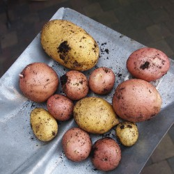 potatoes-913188_1280